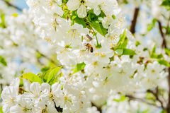 Bee on cherry blossom Royalty Free Stock Images