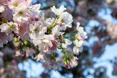 A bee on a cherry blossom in spring Stock Photo
