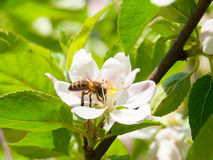 Bee and cherry blossom Stock Photography