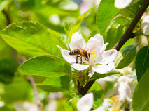 Bee and cherry blossom Royalty Free Stock Photos