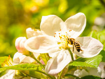Bee and cherry blossom Royalty Free Stock Images
