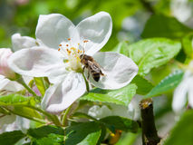 Bee and cherry blossom Stock Image