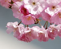Bee in cherry blossoms. A honeybee in beautiful pink cherry blossoms royalty free stock images