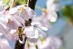 Bee On Cherry Blossoms royalty free stock images