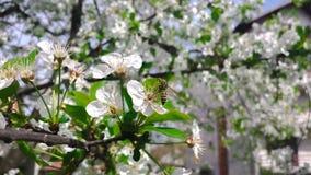 Bee on cherry Royalty Free Stock Photo