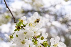 Bee on a cherry flower royalty free stock image