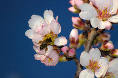 Bee on cherry flower. Melliferous bee in cherry flower Royalty Free Stock Photo