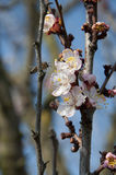 Bee And Cherry Flowers - branch of a bloosoming chery tree Stock Photo