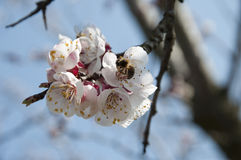 Bee And Cherry Flowers - branch of a bloosoming chery tree Royalty Free Stock Photos