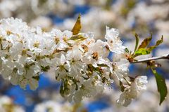 Bee at a cherry flowers Royalty Free Stock Photography