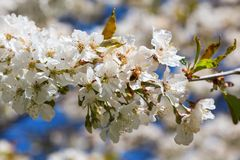Bee at a cherry flowers Stock Photography