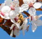 Bee on cherry tree flower royalty free stock photography