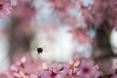 Bee by cherry tree Royalty Free Stock Image