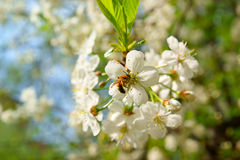 Bee on cherry white blossoms Royalty Free Stock Image