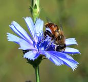 Bee on chicory Royalty Free Stock Photography