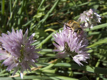 Bee on chive Stock Photos