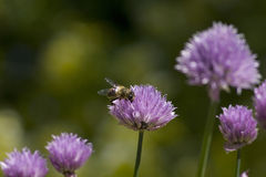Bee on Chives Allium Schoenoprasum in flower, in a Stock Photo