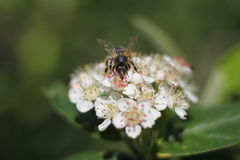 Bee on chokeberry. Bee on white chokeberry flowers Stock Photography