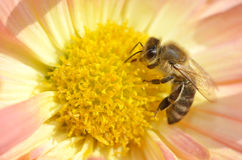 Bee in chrysanthemum Stock Photo