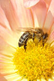 Bee in chrysanthemum Royalty Free Stock Photos