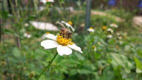 Bee,Chrysanthemum,gather honey. Bees gather nectar from flowers royalty free stock photos