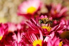 Bee on chrysanthemum royalty free stock photo