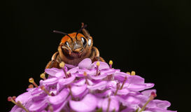 Bee clean itself Royalty Free Stock Photography