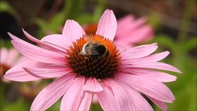 Bee climbing on a flower stock video footage