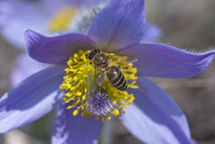 Bee climbs and pollinate pulsatilla flower Royalty Free Stock Photo
