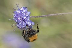 A bee clinging to a purple flower Royalty Free Stock Photo