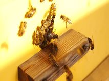 Bee close up. Bees at the bee hive. Swarm of bees.