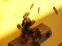 Bee close up. Bees at the bee hive. Swarm of bees. stock footage