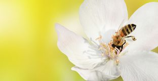 Bee close-up collects nectar pollen from the white flower of a Stock Images