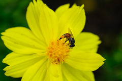 Bee. Close up of bee on a daisy flower stock photography