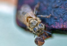A Bee Close Up Royalty Free Stock Image