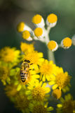 Bee close up shot. Bee close up shot in nature. Yellow bee on yellow flowers stock photos