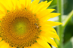 Bee and Close Up Sunflower Royalty Free Stock Images