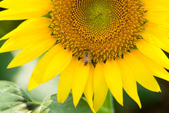 Bee and Close Up Sunflower Stock Image