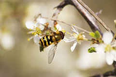 Bee closeup Royalty Free Stock Images