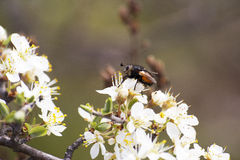Bee closeup Royalty Free Stock Photos