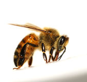 Bee closeup isolated on white Royalty Free Stock Images