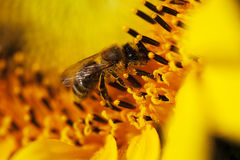 Bee closeup in sunflower Stock Photo