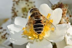 Bee Closeup in White Flower Heaven 03. Bee forages among the yellow anthers of a white flower petals royalty free stock images
