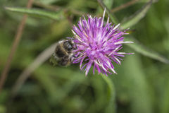 Bee in clover Royalty Free Stock Images