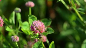 Bee on clover stock footage
