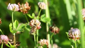 Bee on clover stock video footage
