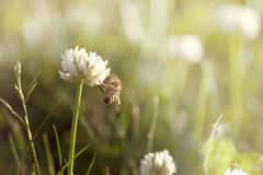 Bee on clover Stock Photography