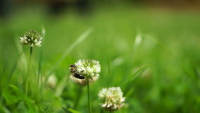 Bee On Clover Flowers Collecting Nectar stock video footage