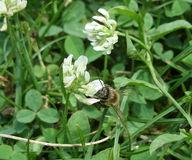 Bee and clover Stock Photos