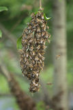 Bee cluster. As very nice natural background Royalty Free Stock Image